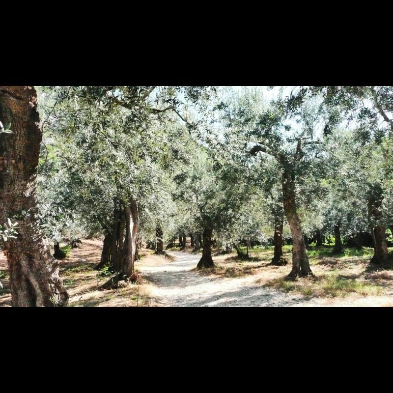 Luigi Tega, Lirys, Olivenolie Extra Vergine, 50 cl.